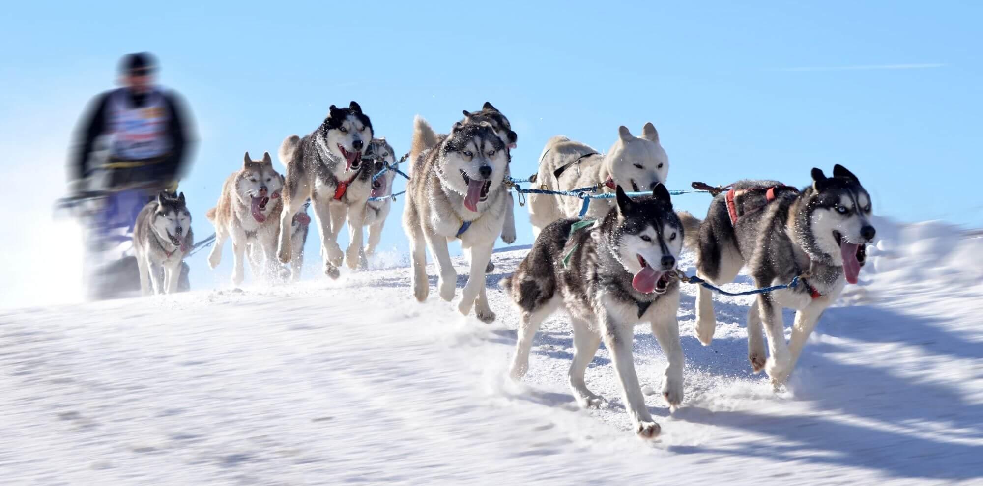 כלבי האסקי מושכים מזחלת על השלג - מובילי דיעה