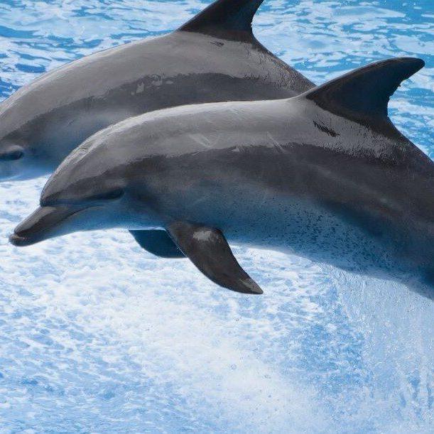 זוג דולפינים בקפיצה מושלמת - המחשה לקפיצה בגוגל